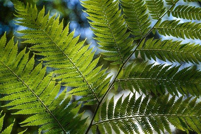 tree-fern-320078_640